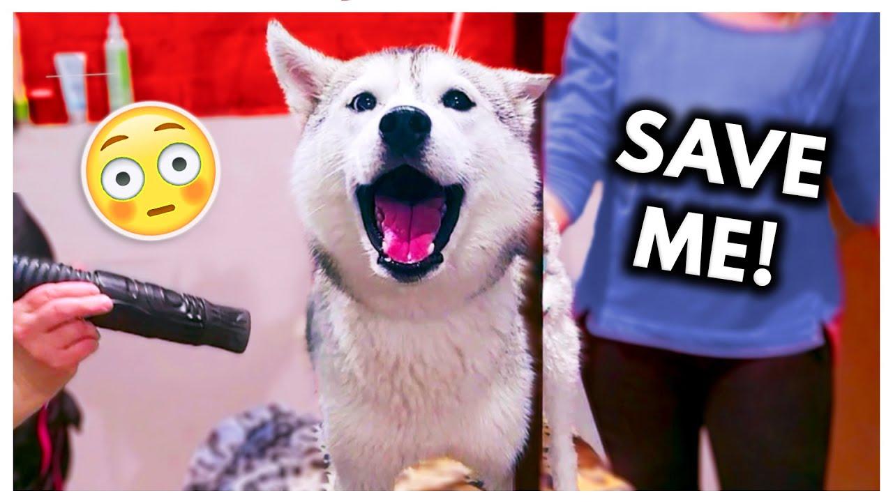 Dramatic Husky has MELTDOWN at Groomers! (headphone warning)