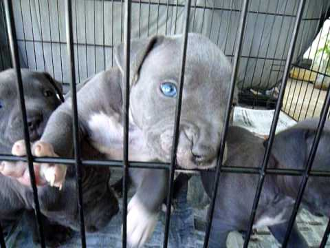 blue pitbull puppies dickenspits  litter sold out 1 female left