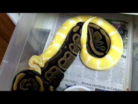 Ball Python Lock Ups 2013