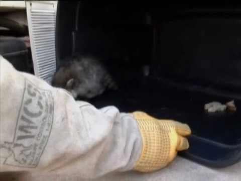 Racoons Stuck In Soda Machine