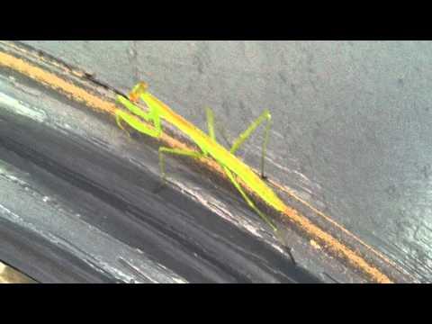 Praying Mantis on my Front Door