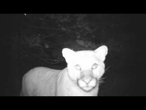 AMAZING camera footage of a cougar kill on the 40 Acre Wood