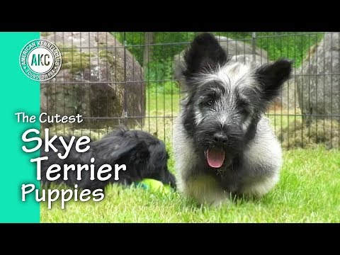 The Cutest Skye Terrier Puppies