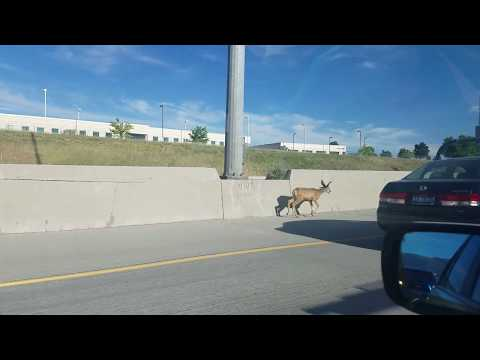 Poor Deer In The Middle of Rush Hour Traffic On Heavy Use Highway
