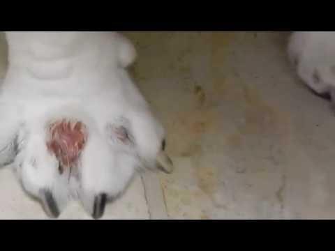 Interdigital cyst in bulldog and french bulldogs Dr. Kraemer @Vet4Bulldog.com