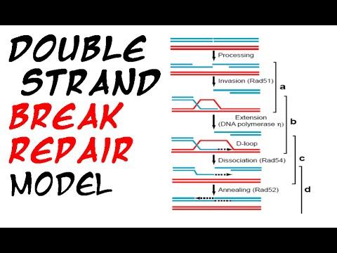 Double strand break repair model
