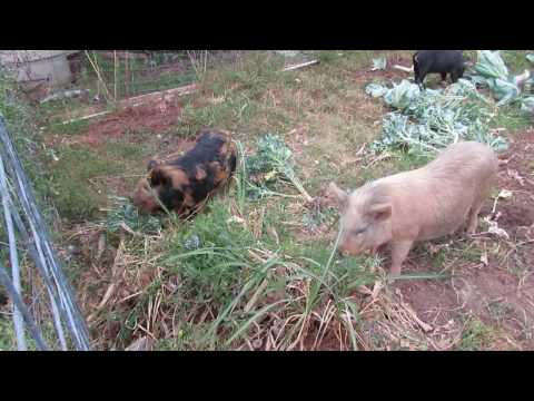 The Oasis Family Farm Presents : Working Pigs KuneKune X Potbelly, Large Black