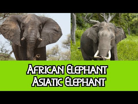 African Elephants & Asiatic Elephants - The Differences
