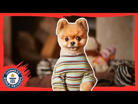 Jiffpom - The fastest dog on two paws - Guinness World Records 2015