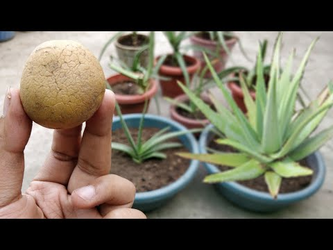 एक आलू की मदद से उगाएं घर में Aloe Vera का खेत