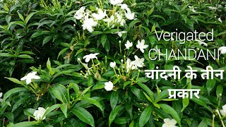 How to grow verigated Chandani, Mini Chandani, Double Chandani plant // लगाए चांदनी तीन तरह की।