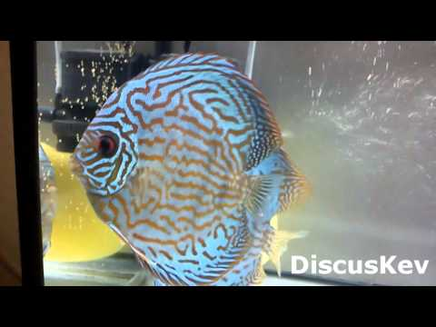 Discus fish update 25.05.12 - Discus fish laid eggs - 3 Clips in one