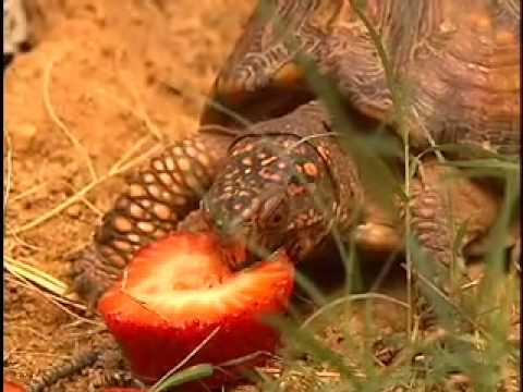 Wild Box Turtle Eating Strawberries