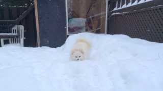 Pomeranian puppies play with snow