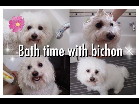 Bath Time With Bichon Frise