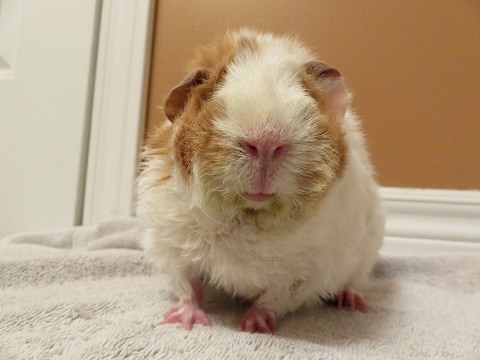 How To Bath A Guinea Pig *Live Demo*