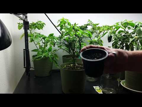 Saturday Special,  Graham's Pepper Shrine  Update July 13th 2017