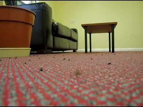 Cluster Flies invade bedrooms at Hotel in Norwich, Norfolk UK