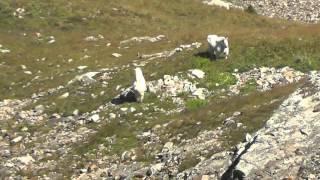 2015 Colorado Mountain Goat Hunt