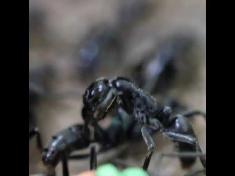 Ants care for wounded comrades by licking their wounds