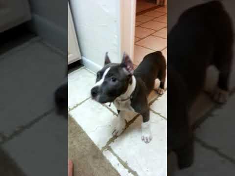 My new pitbull puppy ears crop