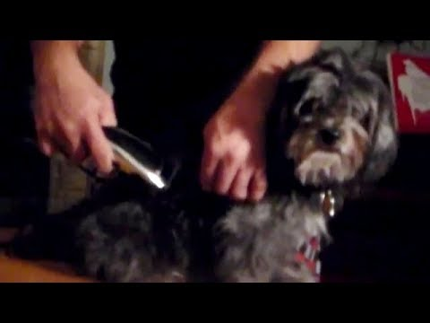 How to groom a knotty dog with  a clipper & Scissors