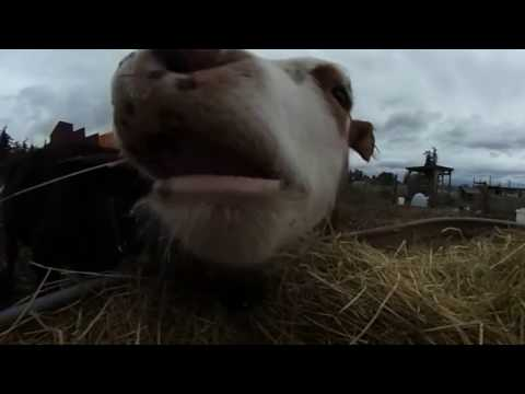 Say Hello to a Baby Cow in VR!