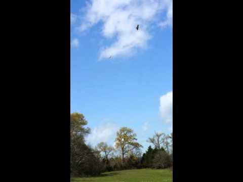 Hawks mating ritual
