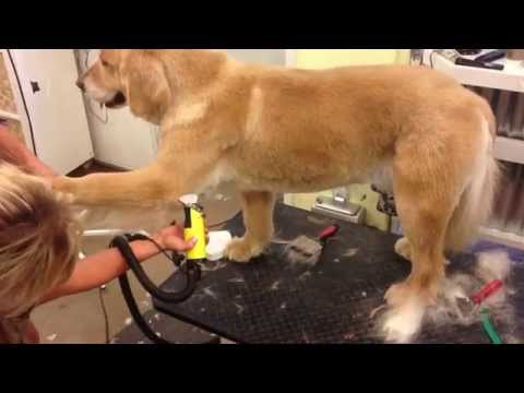 Westlake Village Pet Grooming, It's Pawfect- Summer Cut on a Golden!