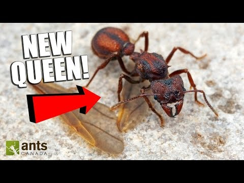HUNTING FOR QUEEN ANTS!