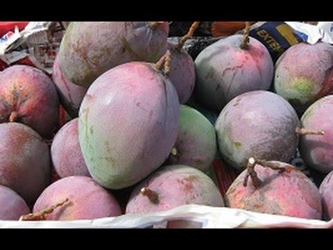 Mango Fruits Tree (XOAI SAU HE) Backyard Fruit Tree