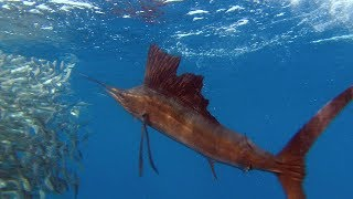 Sailfish Are Master Hunters - Planet Earth - BBC Earth
