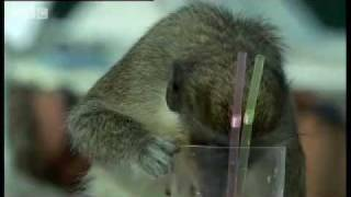 For more brilliant natural history shows, exclusive to YouTube, head over to our brand-new channel Earth Unplugged! http://www.youtube.com/earthunplugged  In the Caribbean, Vervet Monkeys have developed a taste for alcohol and can regularly be spotted stealing cocktails from humans on the beach. Brilliant wildlife video from BBC animal show