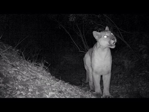 Mountain Lion screams! Plus a Ringtail, Fox and deer