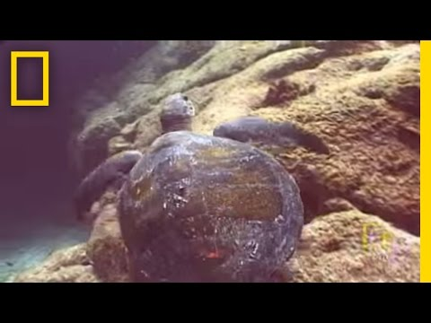 Tiny Turtles Getting Big Help | National Geographic