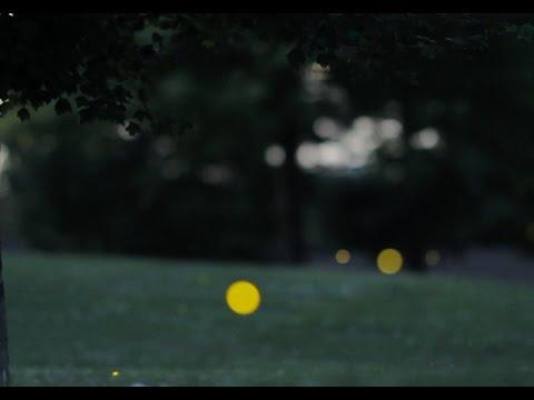 How do fireflies glow? - ACS Headline Science