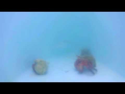 Hermit Crabs inside livewell