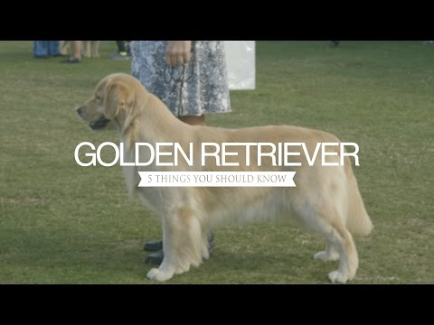 GOLDEN RETRIEVER FIVE THINGS YOU SHOULD KNOW