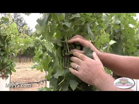 Re-visiting a small backyard vineyard 3 mos. after planting