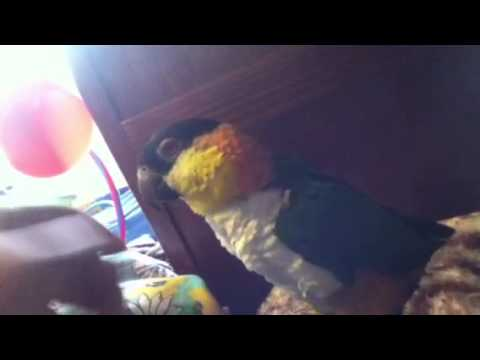 Weird caique behavior