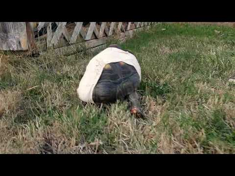 Redfoot Tortoise with broken leg explores the yard