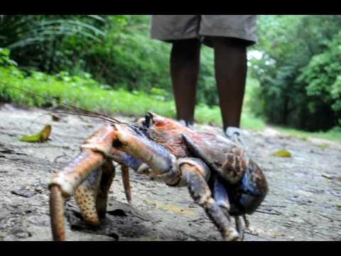 Robber crabs on Christmas Island