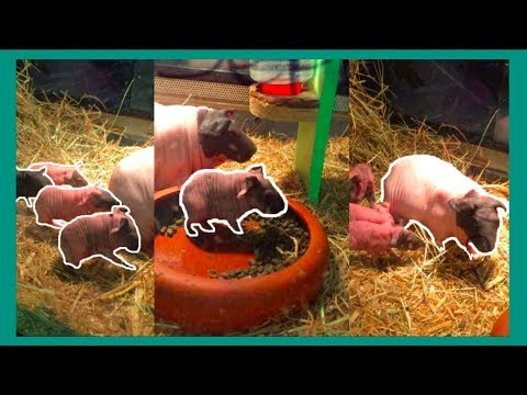 Skinny Pig Babies!!(just one day old)
