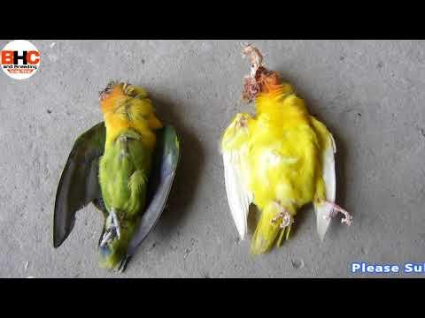 Lovebirds ki Bad Habits | Lovebird Killing Each Other #2 Love birds Expire