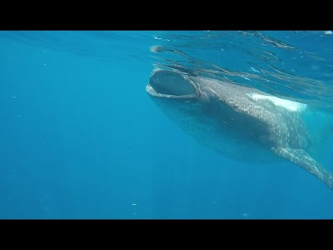 Whale Shark Tour, Isla Mujeres Mexico
