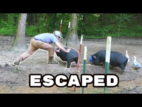 Electric Pig Fencing Repairs (HE GETS OUT!) The Farm Life
