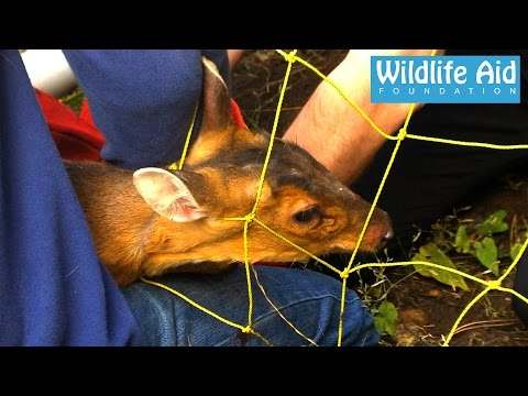 The deer that doesn't want to be caught! - Tricky Muntjac Rescue
