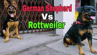 5 41 MB] Download German Shepherd Vs Rottweiler Ek Sath