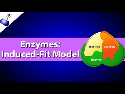 Enzymes: The Induced Fit Model