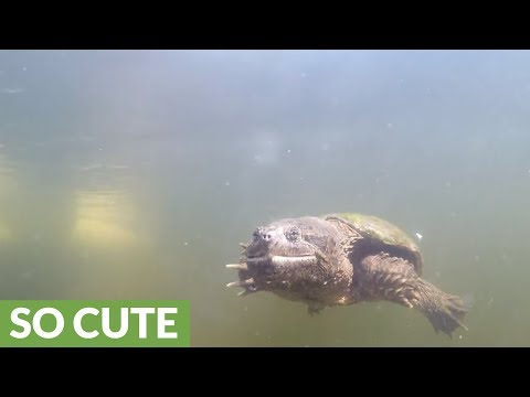 Wild snapping turtle extremely curious of human